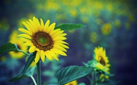 Preview wallpaper Spring sunflower, yellow flowers, green fuzzy background