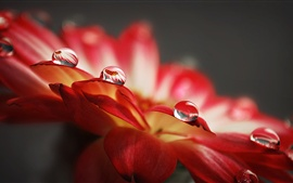 Preview wallpaper Water droplets macro of red flower petals