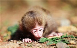 Preview wallpaper A little monkey on the ground close-up photography