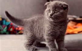 Cute gray cat, standing observation