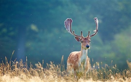 Cervos na grama do verão, fundo borrado