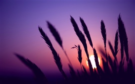 Evening, sunset, purple sky, grass silhouette