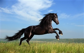 Freedom black horse galloping