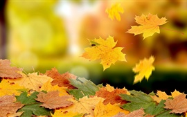 Maple leaves falling in autumn