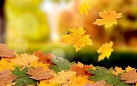 Кленовые листья падают в осень