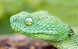 Preview wallpaper The green African tree viper