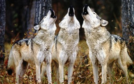 Three wolves howl