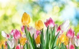 튤립 꽃 근접, 흰색, 노란색, 보라색 꽃, 흐린 배경