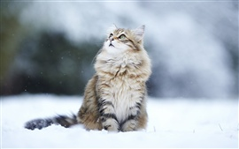 Preview wallpaper Winter snow cat, eyes looking away
