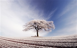 Broad field, lonely tree, blue sky, white clouds, frost