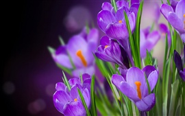 Preview wallpaper Crocuses violet flowers macro photography