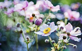 Preview wallpaper Flowers macro, anemones blurring focus photo
