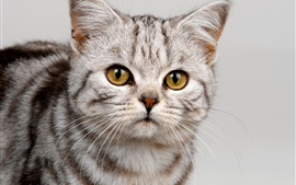 Preview wallpaper Gray striped cat close-up, yellow eyes