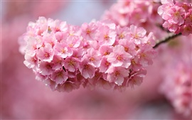 Preview wallpaper Japan sakura, twigs, pink flowers, petals close-up, blurred background