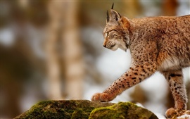 Lynx hunting, predator animals