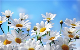 Nature flowers photography, daisies, petals, blue sky