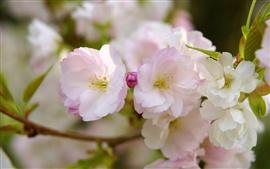 Sakura bloom, pétalas de flores, primavera, macro fotografia