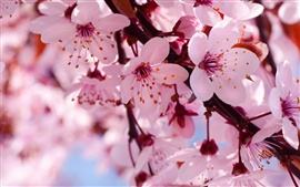 Spring flowers in full bloom, pink cherry blossoms