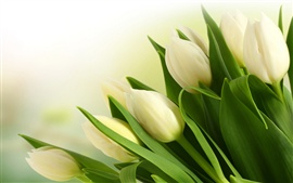 Preview wallpaper White tulip flower bouquet close-up