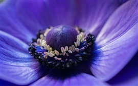 Preview wallpaper Anemone blue flower macro photography