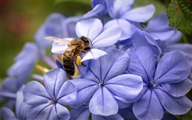 Preview wallpaper Blue flowers and bee close-up