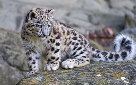 Cute snow leopard baby