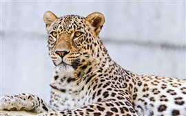 Preview wallpaper Leopard paw, whiskers, eyes, macro photography