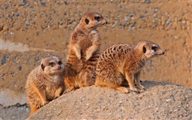 Preview wallpaper Meerkats family