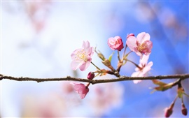 Preview wallpaper Spring cherry blossoms close-up, blurred background