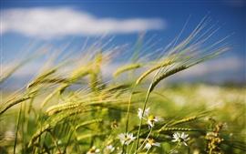 Trigo de verano y las flores silvestres