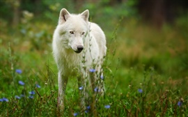 Preview wallpaper Arctic wolf predator