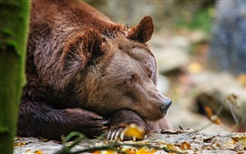 Brown bear at rest