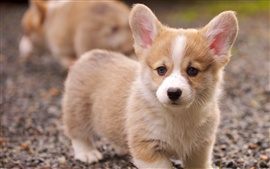 Preview wallpaper Corgi puppy