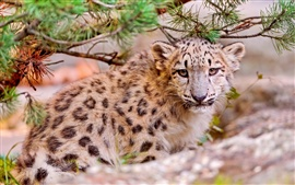 Bonito leopardo da neve, rosto, close-up, animais predadores