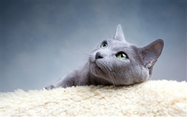 Preview wallpaper Gray cat divert attention