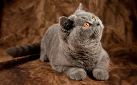 Preview wallpaper Gray cat surprised expression