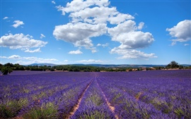 Preview wallpaper Lavender of Provence, France