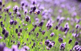 Preview wallpaper Lavender purple flowers, field, meadow, blurred close-up
