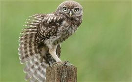 Preview wallpaper Little owl, wing feathers, tree stump