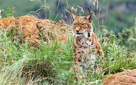 Preview wallpaper Lynx in the wild bushes