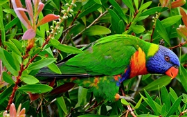 Preview wallpaper Multicolor Lorikeet parrot, can you see it?
