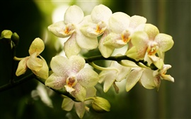Orchid, phalaenopsis, flowers close-up