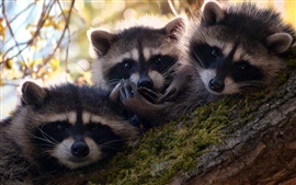 Preview wallpaper Three cute raccoons