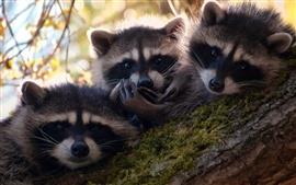 Три милые енотов