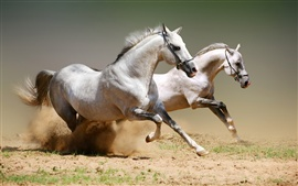 Preview wallpaper Two running white horse, dusty
