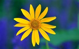 Flor amarela, pétalas macro, fundo borrado