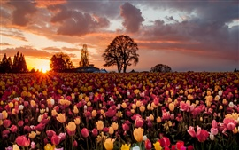 Preview wallpaper A lot of tulip flowers, warm sunset, fields