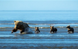Preview wallpaper Bear and bear babies hunting fish in the water