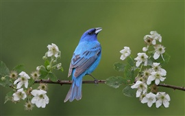 Blue bird in the spring