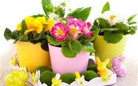 Flores da Páscoa, prímula
